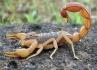 Calor intenso favorece a presença de escorpiões em ambientes domésticos